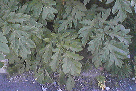 tricky plant in Tromsø